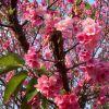 春はやっぱり桜