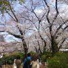 サクラ満開。東京井の頭公園。